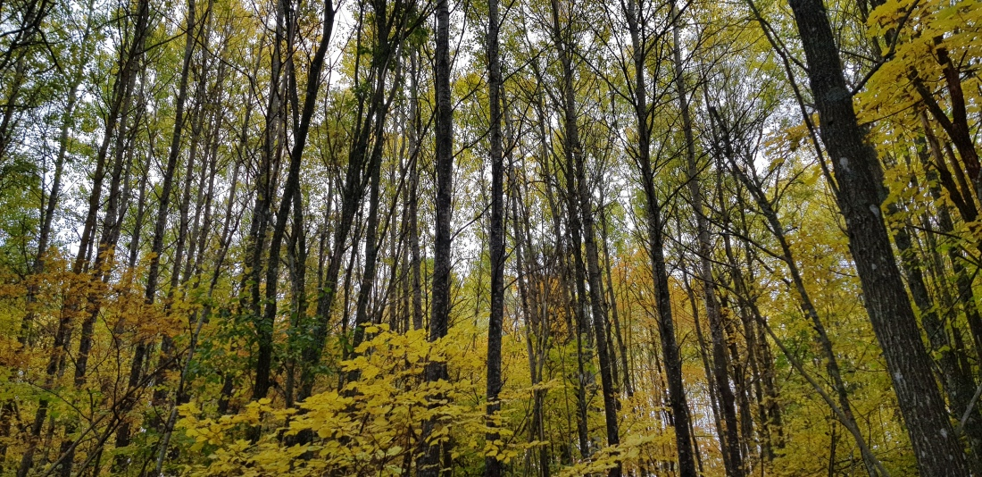 skogensallaträd